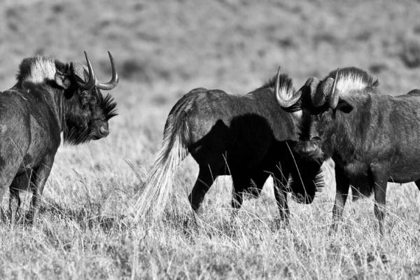 SFGP Black Wildebeest