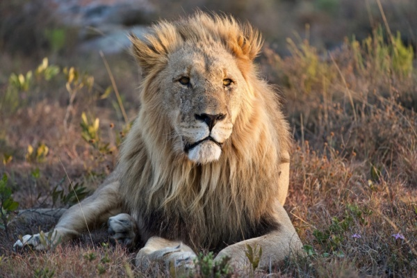 SFGP Lion