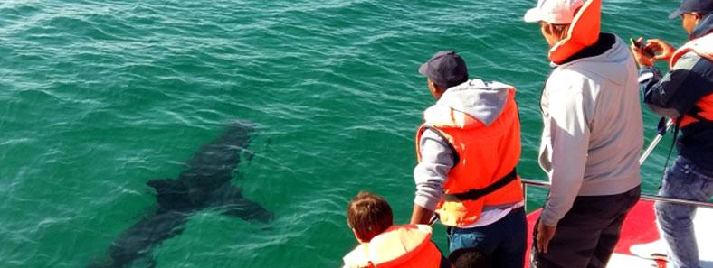orca-sharks