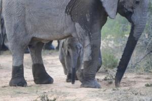 Ranger Diaries - Baby Elephant