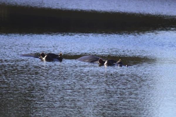 Ranger Diaries - Hippos